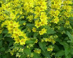 Lysimachia ciliata  1m, fleurs jaunes
