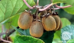 kiwi-fruitier