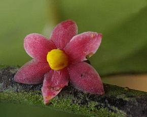 sirdavidia_solannona_couvreur__sauquet_staminate_flower1