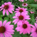 l'échinacée : plante anti-rhume