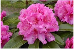 """rhododendron """"Château de Villandry"""""""